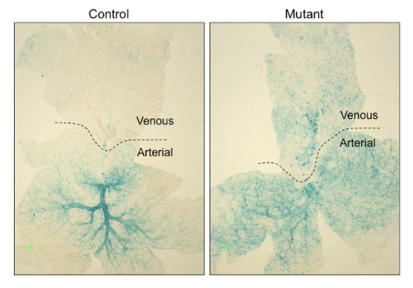 Yolk sacs stained for an arterial reporter reveal aberrant arterialization of veins upon deletion of vascular BRG1.