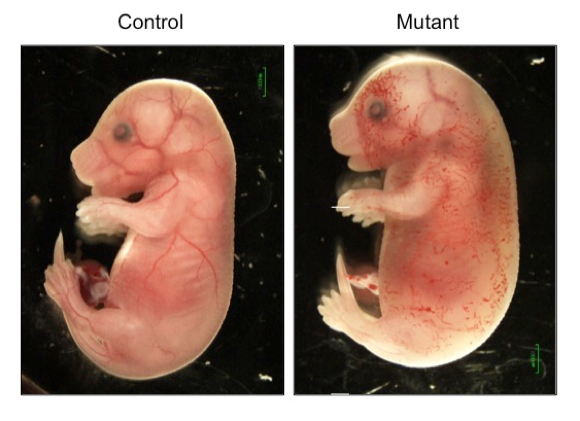 Embryos with mutations for a chromatin-remodeling enzyme display severe edema and blood-filled lymphatic vessels.