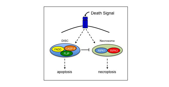 Extrinsic signals that trigger programmed cell death typically activate the death-inducing signaling complex (DISC) to mediate apoptosis. However, when DISC components are mutated or inhibited, extrinsic death signals activate the necrosome, which facilitates necroptotic cell death.